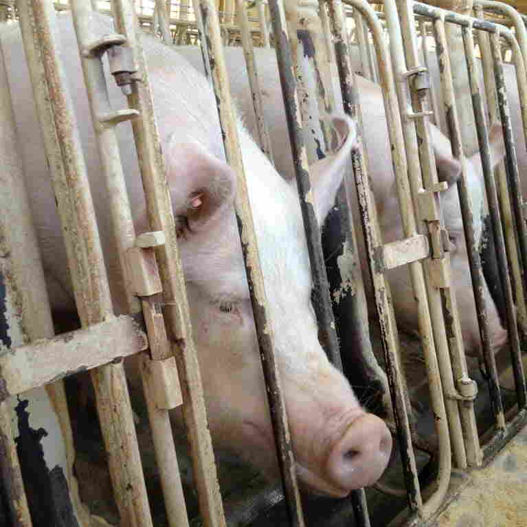 A Humane Society investigation of a Wyoming pig breeding facility to the introduction of an ag-gag bill in Wyoming, which eventually failed.