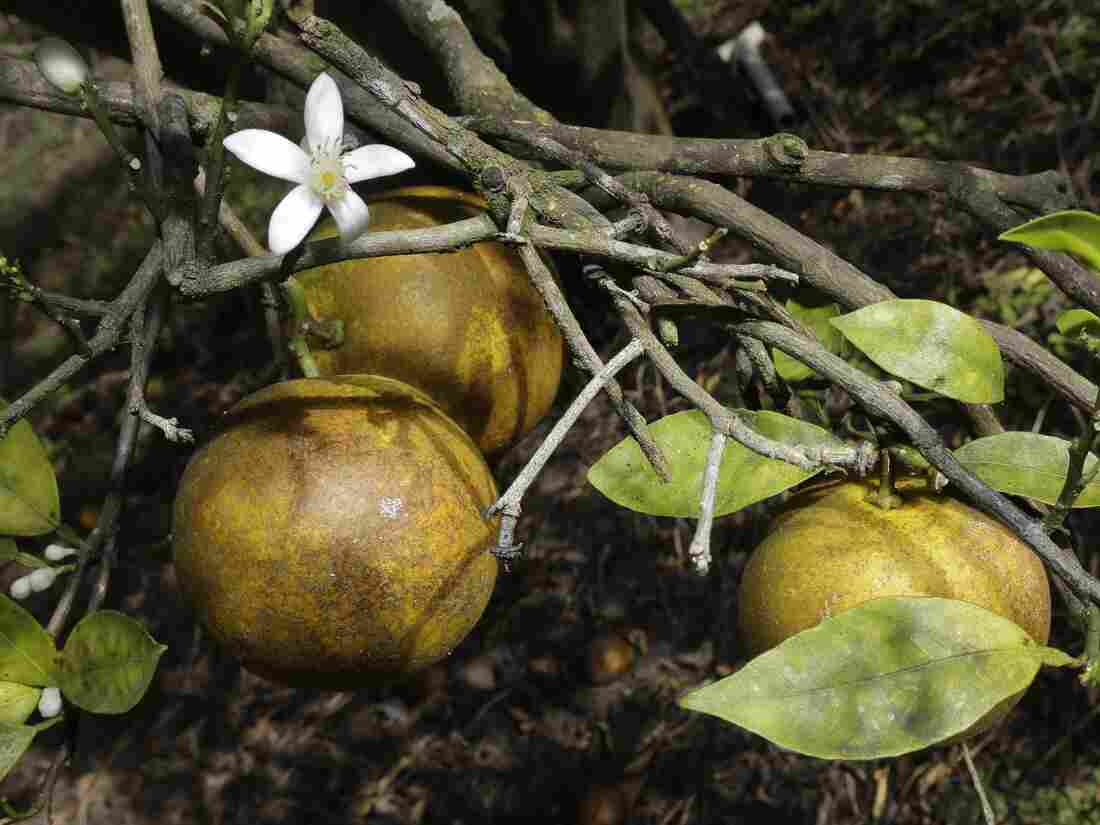 Ripening fruit in a grove in Plant City, Fla., this month. Florida citrus growers are worried about citrus greening, which causes bacteria to grow on the leaf and fruit, eventually killing the tree.