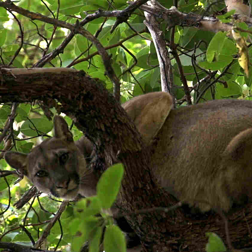 On The Trail Of A Mountain Lion, Hunters Hope To Help