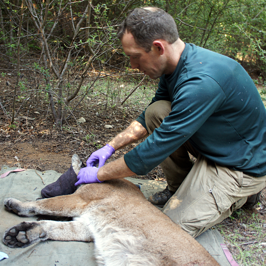 Field biologist Paul Houghtaling of The Santa Cruz Puma Project fits a tracking collar on a mountain lion named 38F while she's sedated.