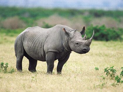 To Save The Black Rhino, Hunting Club Bids On Killing One : NPR