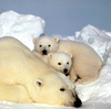 The sea ice that polar bears use as a platform to catch seals is shrinking, threatening the species' existence.