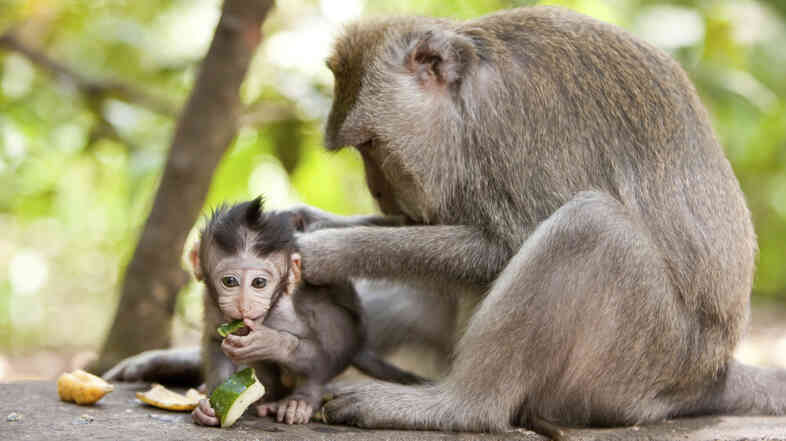 Cute little babymonkey being groomed by mom while eating