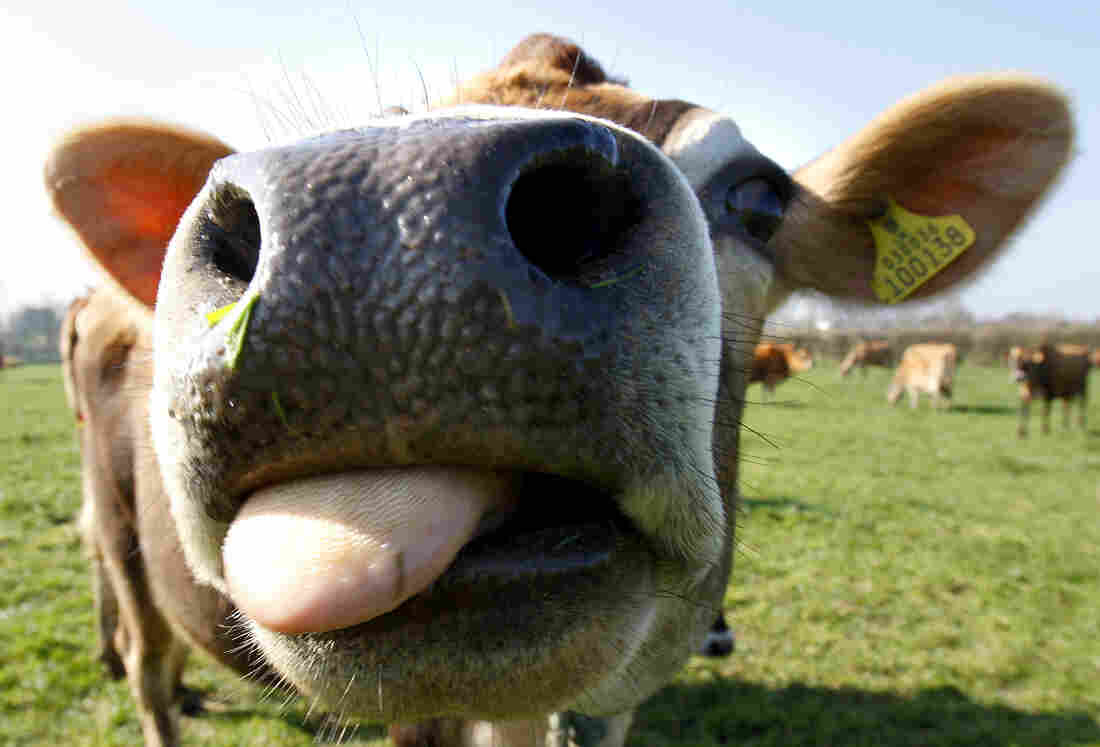 A Jersey cow enjoys the sunshine in Jersey, one of the British Channel Islands.
