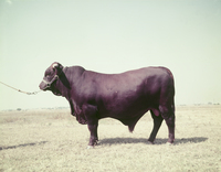 "A ""portrait"" of Santa Gertrudis bull at King Ranch, 1952"