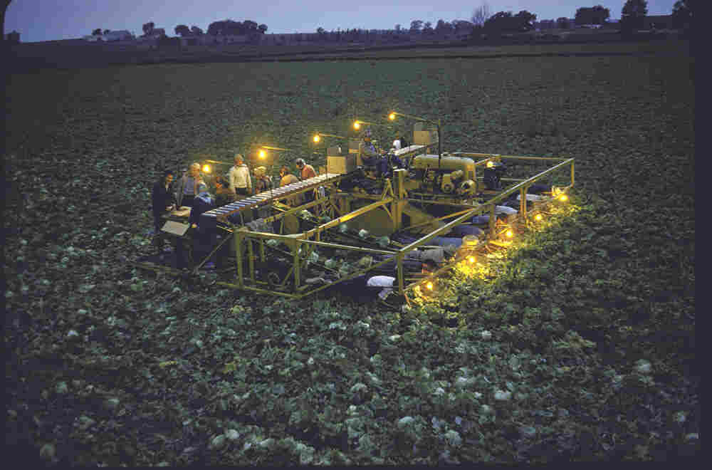 Farmer Bob Chickering at dusk driving lamp-studded lettuce harvester he invented, 1955