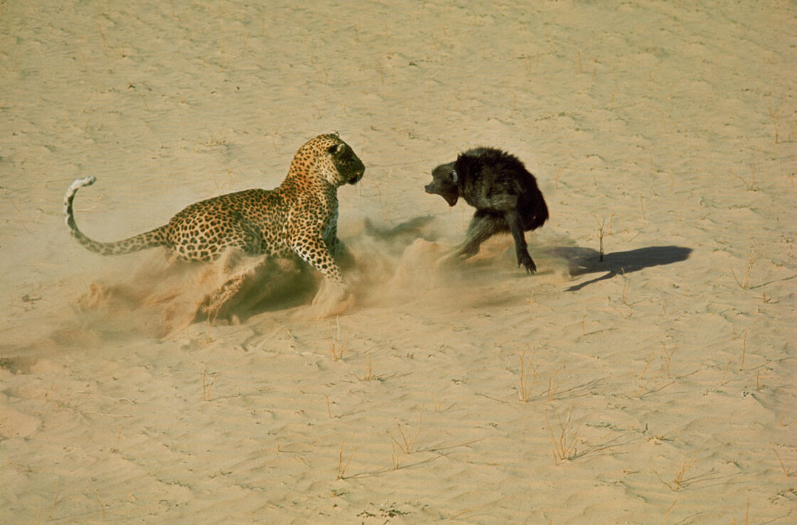 Leopard about to kill a terrified baboon, South Africa, 1965