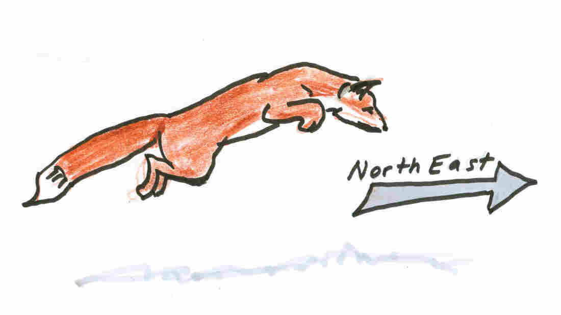 A fox heading northeast.