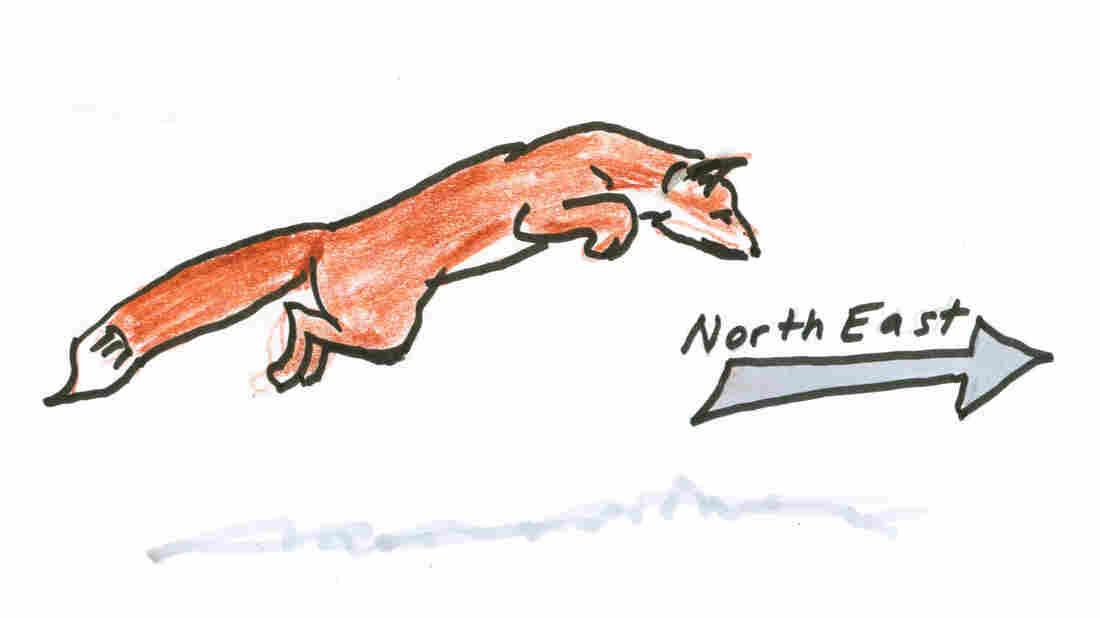 A fox heading northeast.