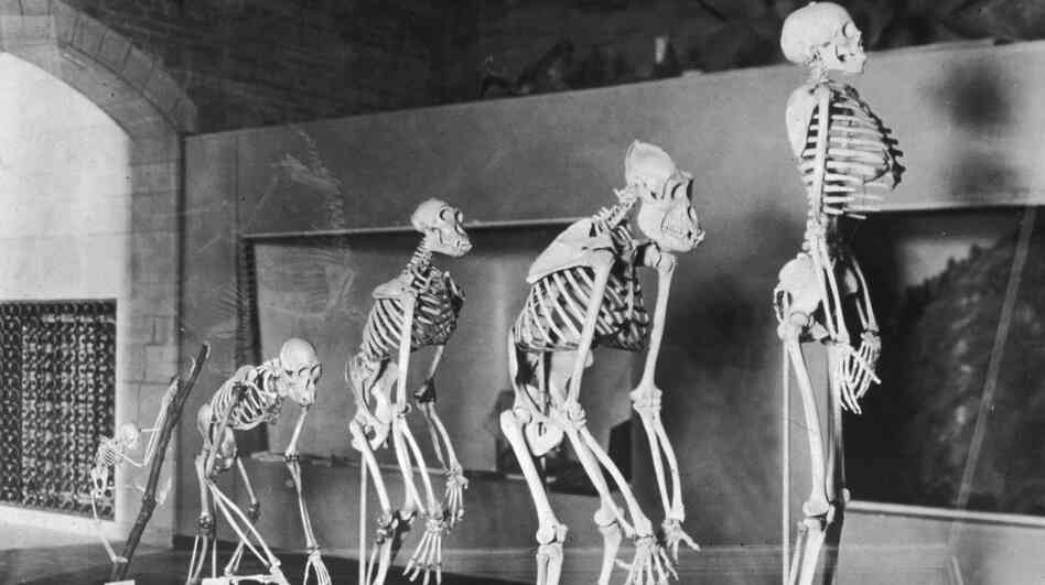 A display of a series of skeletons showing the evolution of humans at the Peabody Museum, New Haven, Conn., circa 1935.