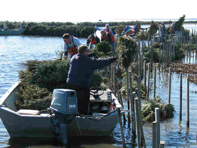 Near Jefferson, La., volunteers place recycled Christmas trees inside man-made wooden cribs in the shallow water of a local marsh in January 2011. The trees absorb wave action and protect fragile marshland from erosion.