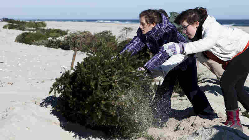 Alexandra Jones-Twaddell and Malley Chertkov add a Christmas tree to the growing line in Island Beach State Park in February 2013. Similar dune restoration projects — using trees as a foundation to trap sand — will be carried out this year all along the Atlantic Coast.