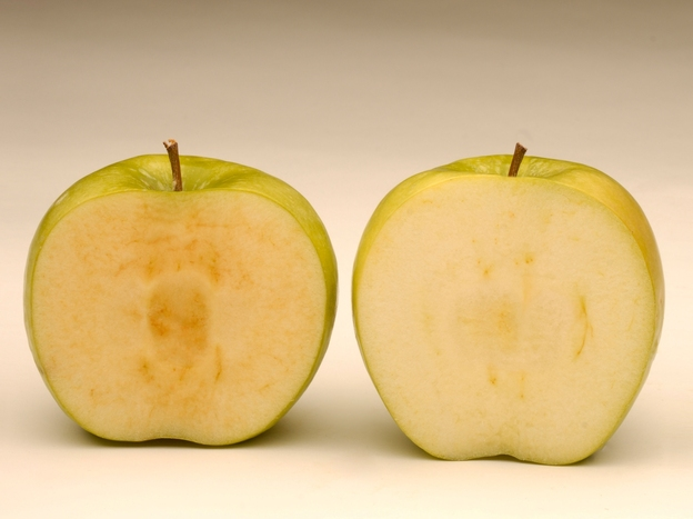 Soon after being sliced, a conventional Granny Smith apple (left) starts to brown, while a newly developed GM Granny Smith stays fresher looking.