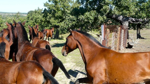 Two-dozen Retuerta horses, the second of two batches, are released into the Campanarios de Azaba Biological Reserve in western Spain. The animals' DNA closely resembles that of the ancient wild horses that once roamed this area before the Romans began domesticating them more than 2,000 years ago.