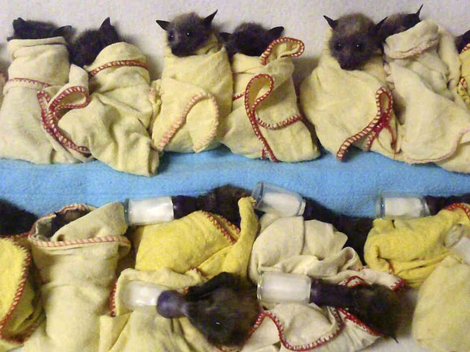 At the Australian Bat Clinic in Queensland, 15 baby flying foxes (bats) were lined up and ready to be fed Thursday.