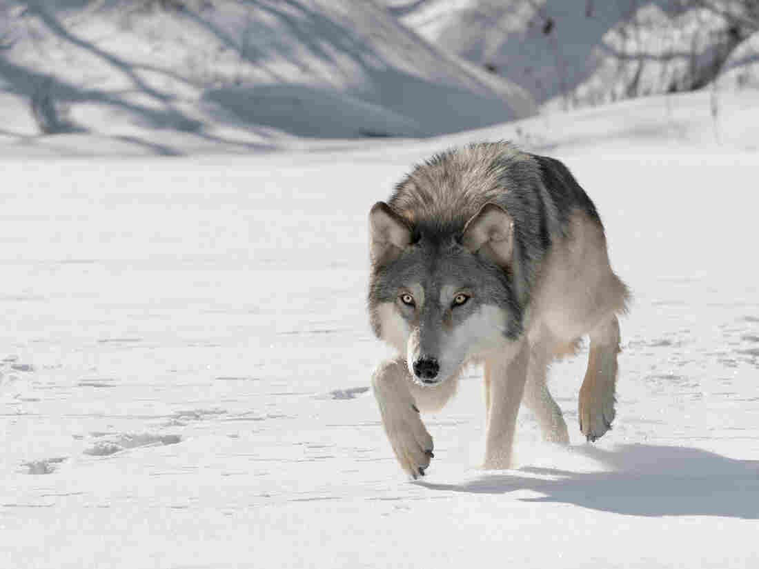 Ask not for whom the wolf stalks ...