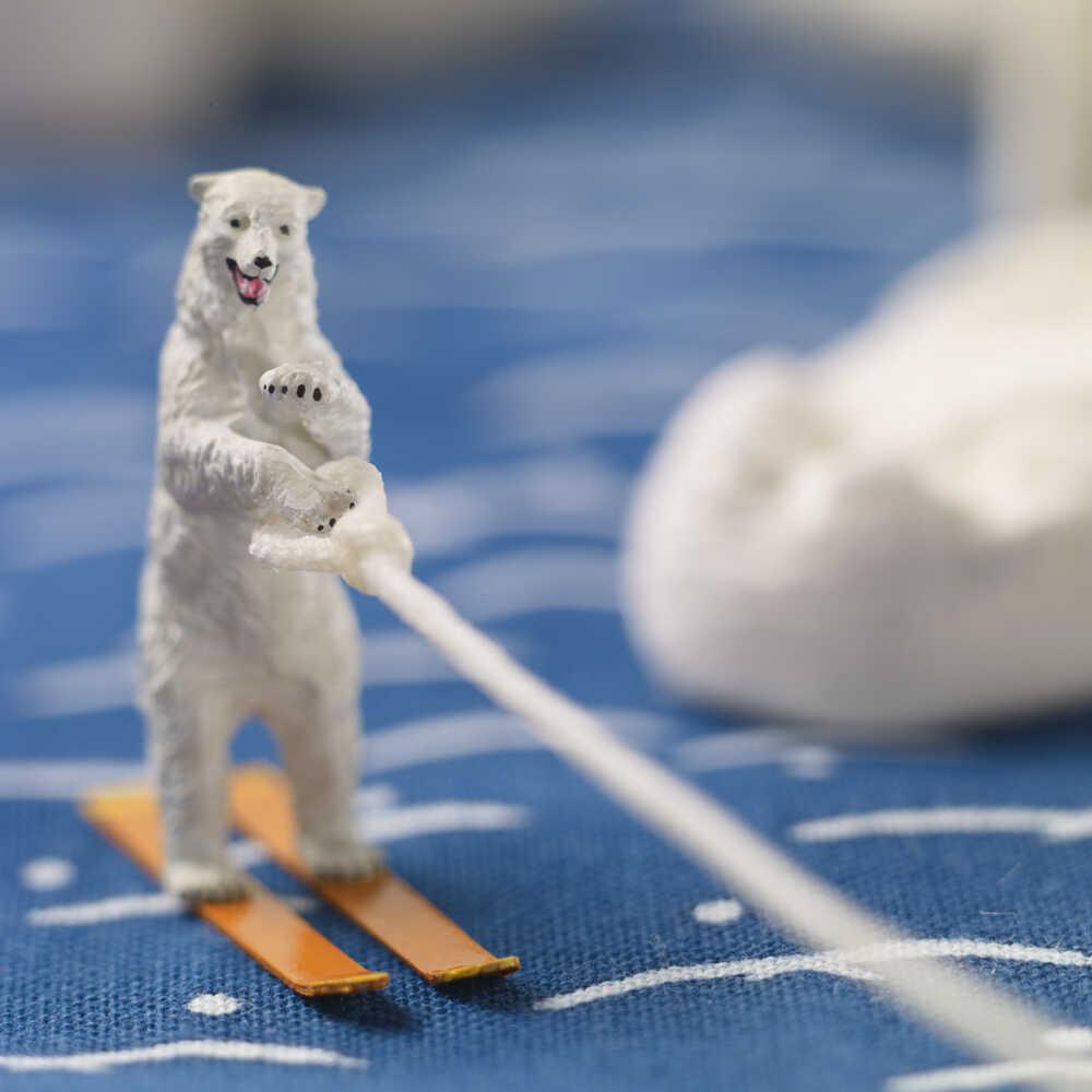 A polar bear waterskiing.