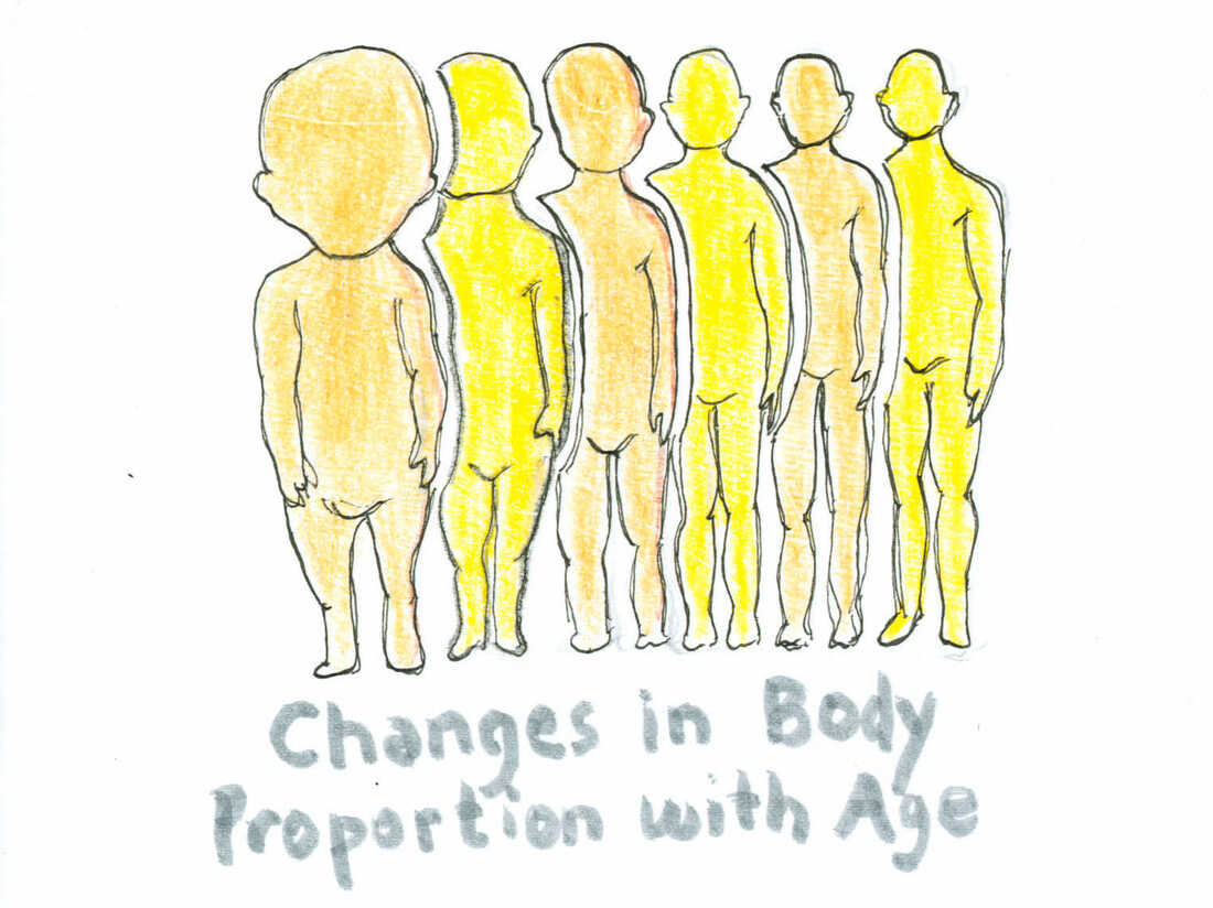 Changes in the proportional size of the human head to the human body as the human ages.