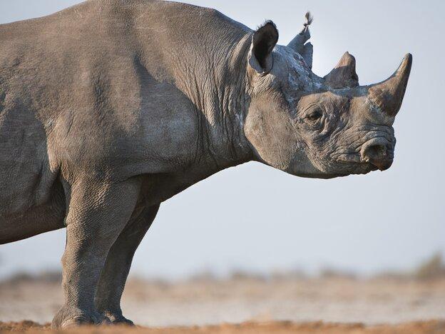 A black rhino in Namibia's Etosha National Park.
