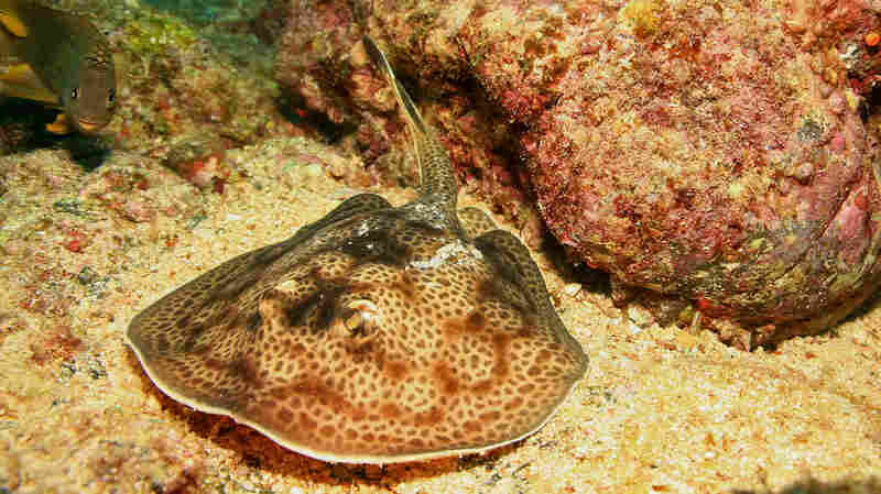 Mild-Mannered Stingrays Can Inflict A World Of Hurt