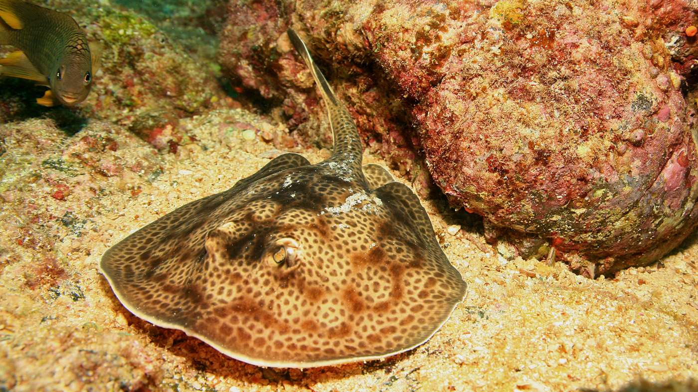 mild mannered stingrays can inflict a world of hurt shots health