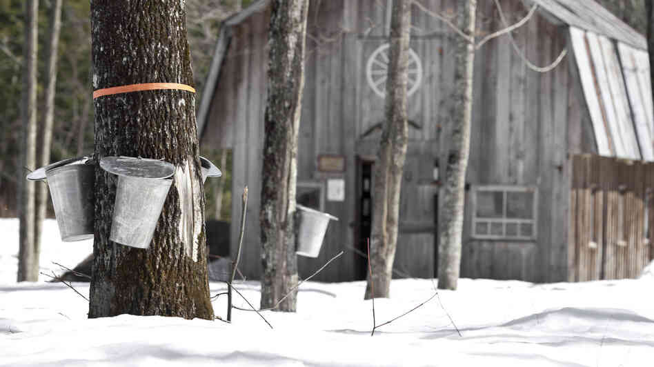 At rustic outposts called sugar shacks, the sap of the sugar maple tree is turned into syrup.