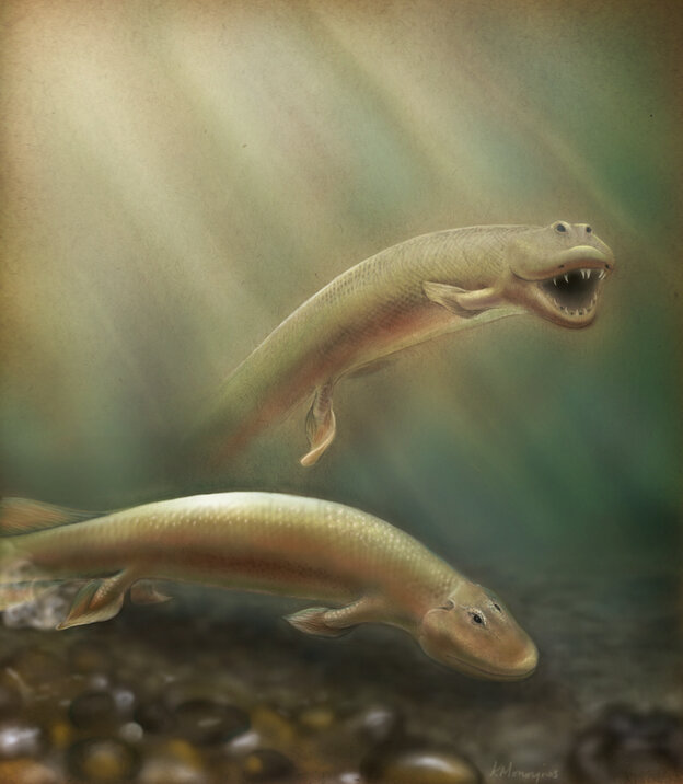 An updated rendering of Tiktaalik based on new research published in PNAS.