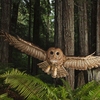 A northern spotted owl in a Redwood forest.