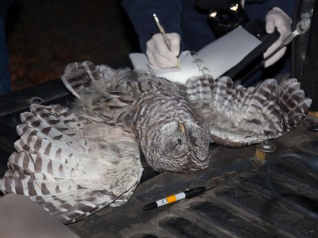 This barred owl was removed in October from California's Hoopa Valley reservation. The barred owl is a species that threatens spotted owl recovery.