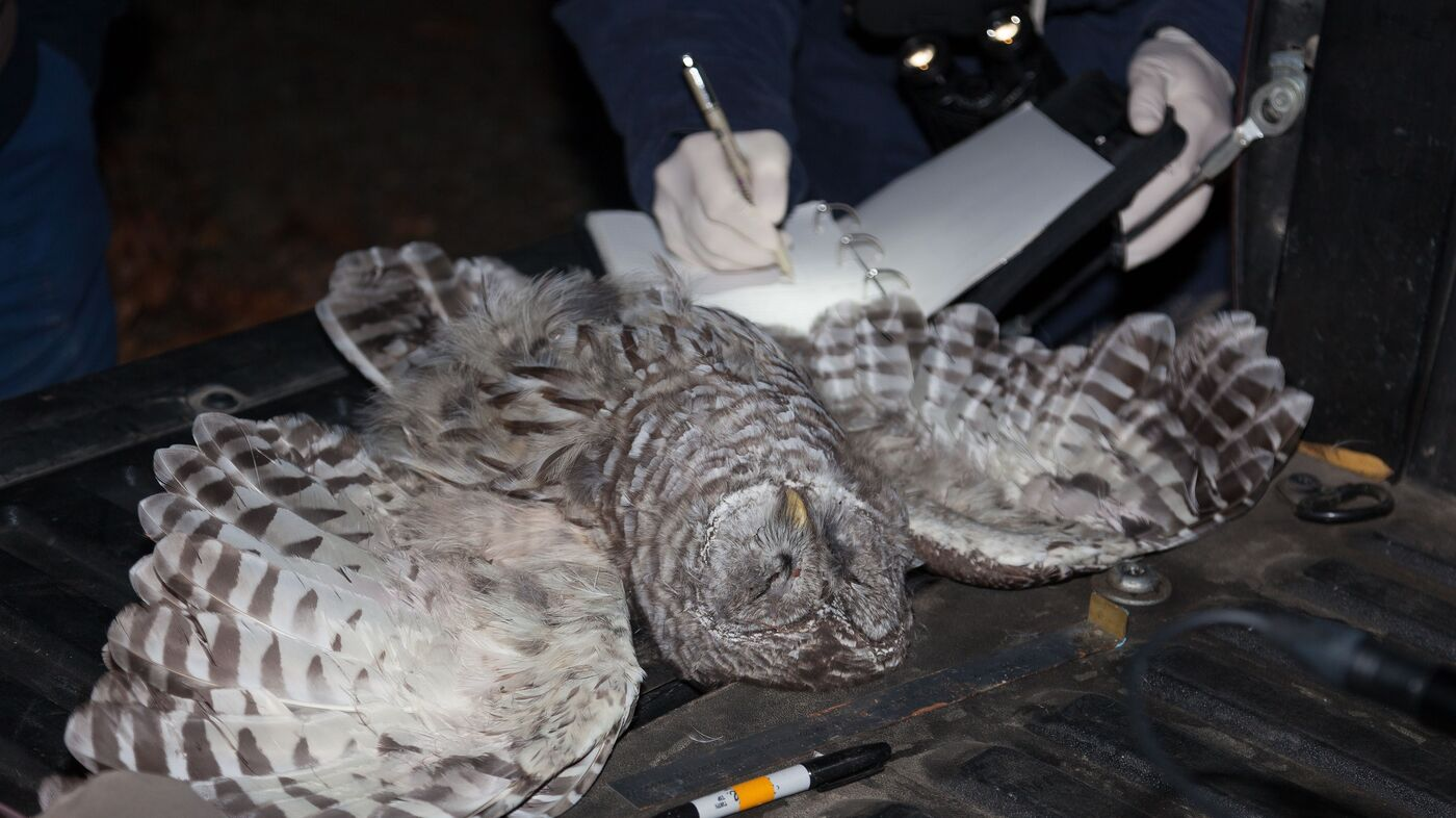 to save threatened owl another species is shot npr
