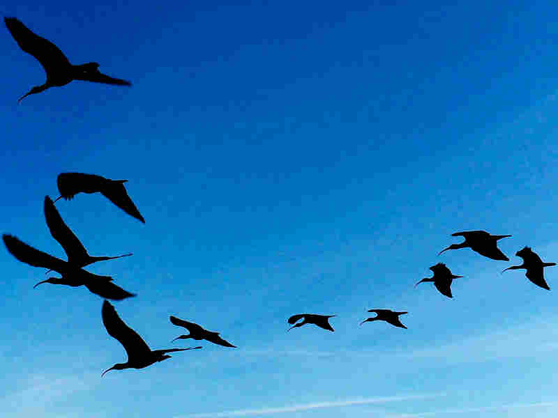 A flock of Northern bald ibises forms a flying V.