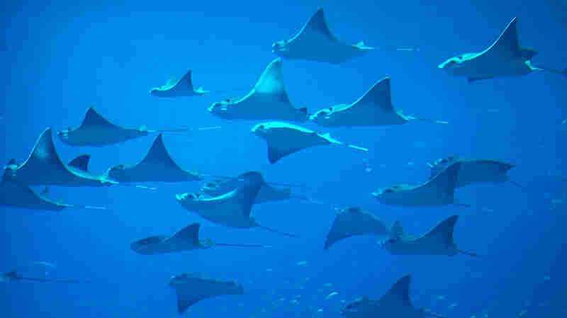 Ancient And Vulnerable: 25 Percent Of Sharks And Rays Risk Extinction