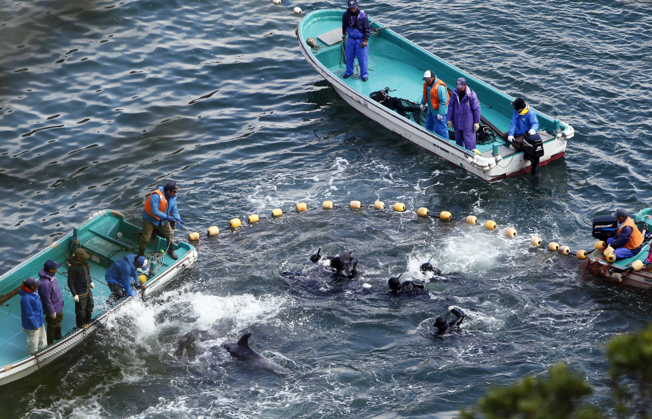 Japanese Government Defends Dolphin Hunt As Killing Goes On