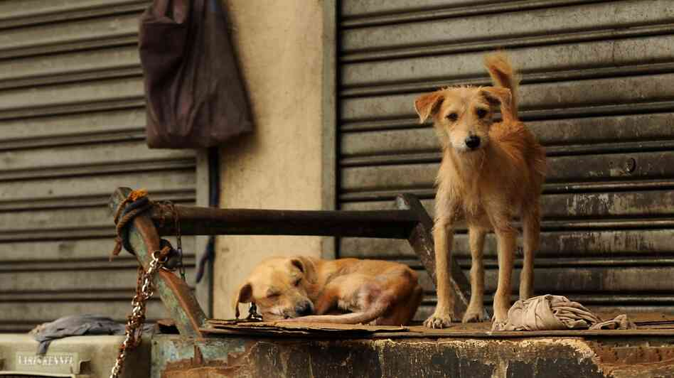 The sexually transmitted cancer is common in street dogs around the world.