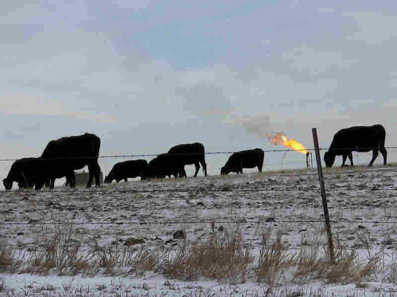 Cows graze in a field south of Watford City, N.D. Despite huge growth in the oil industry, agriculture remains North Dakota's largest industry.