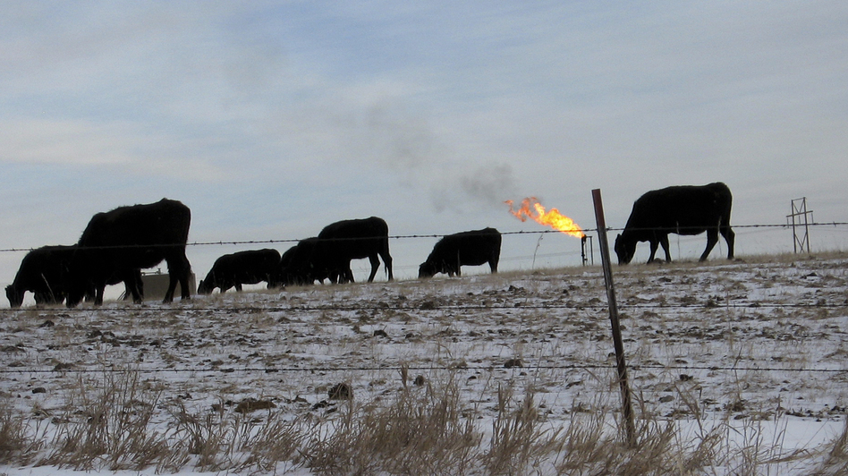 Cows graze in a field south of Watford City, N.D. Despite huge growth in the oil industry, agriculture remains North Dakota's largest industry. (NPR)
