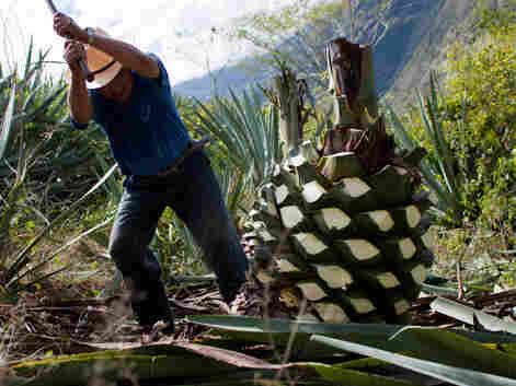 Chopping a maguey plant, which is used to make mezcal.
