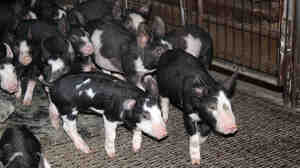 Piglets at Hilldale Farm in State Center, Iowa in March 2013, just before porcine epidemic diarrhea began spreading through hog farms in the U.S.