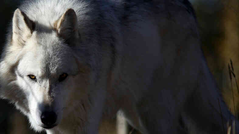 There are now about 1,700 gray wolves in the Northern Rockies.