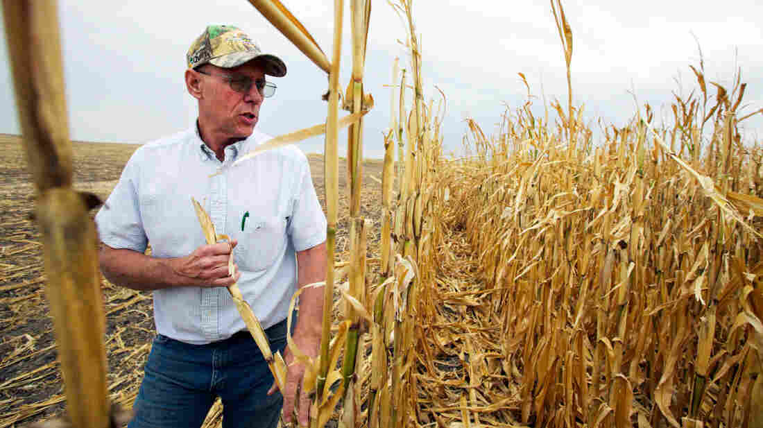 Farmer Steve Henry of Arapahoe, Neb., looks at a patch of corn that failed due to drought last September. The new farm bill would expand crop insurance for farmers.