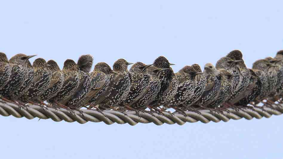 A row of starlings (Sturnus vulgaris) perched on wire.
