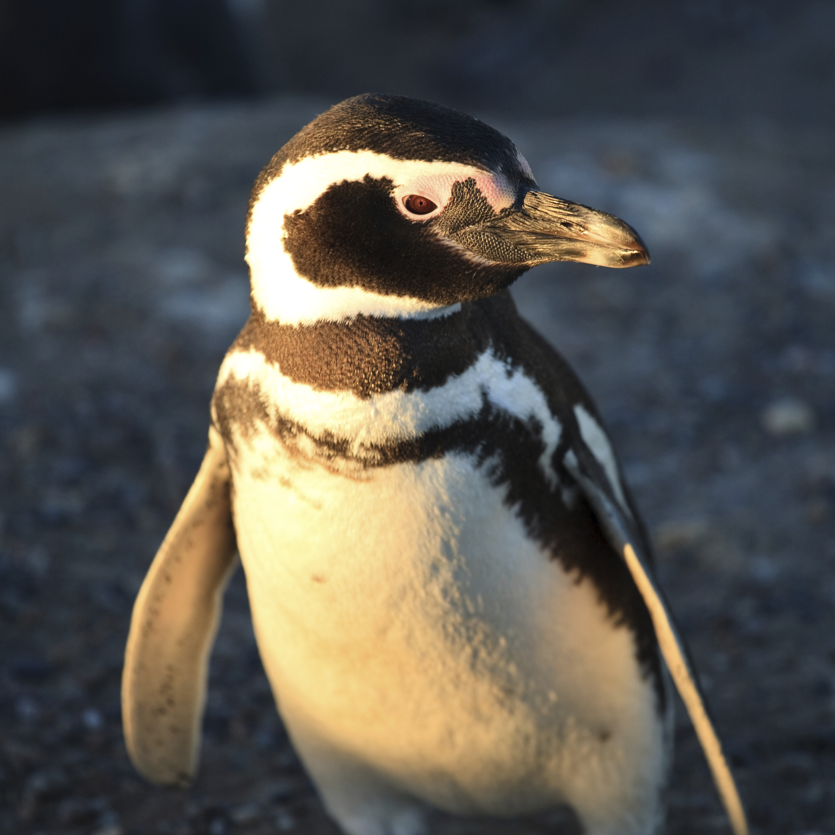 "Though quiet here, Magellanic penguins are widely known as ""jackass penguins"" for their honking and braying."