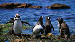 Magellanic penguins strut the