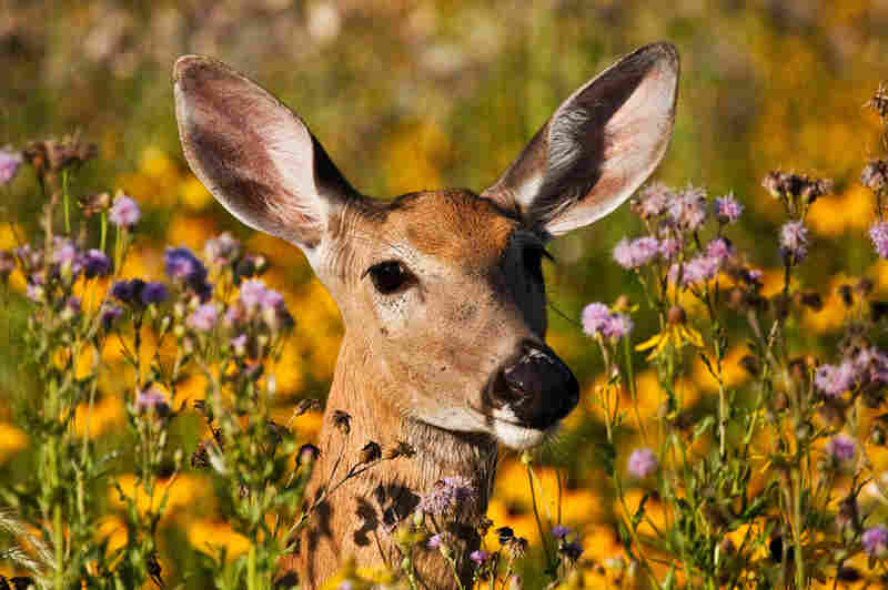 White-tailed doe amongst the wild flowers at Lake Erie Metropark in Michigan.