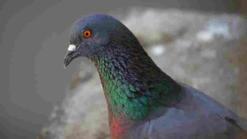A Rock Pigeon (Columba livia).