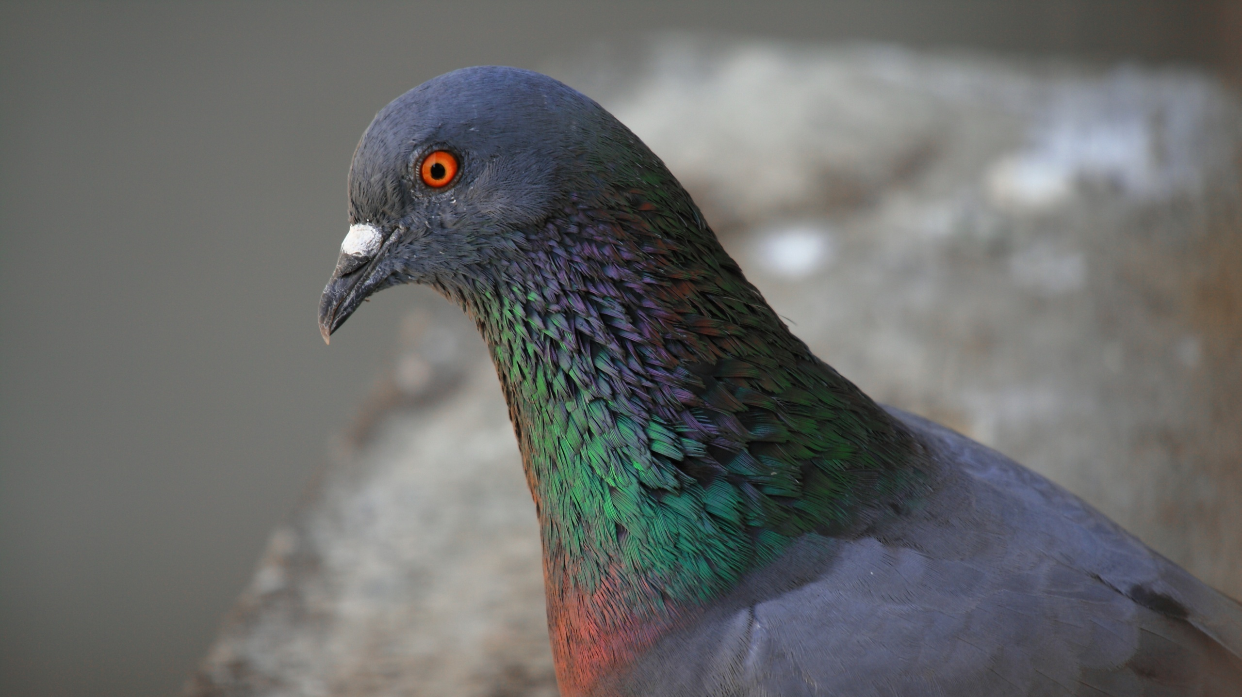 can it be pigeons geese and white tailed deer were once rare