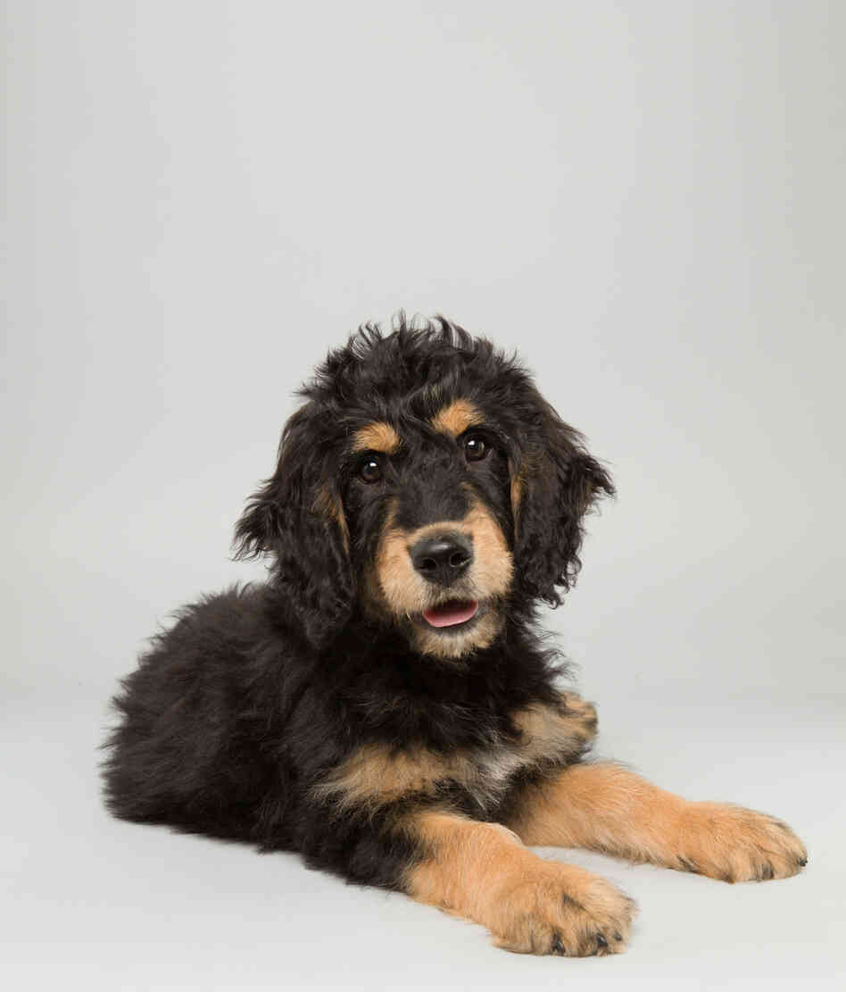 Bach Age: 14 weeks Breed: Bernedoodle Fact: Thinks Mozart is overrated.