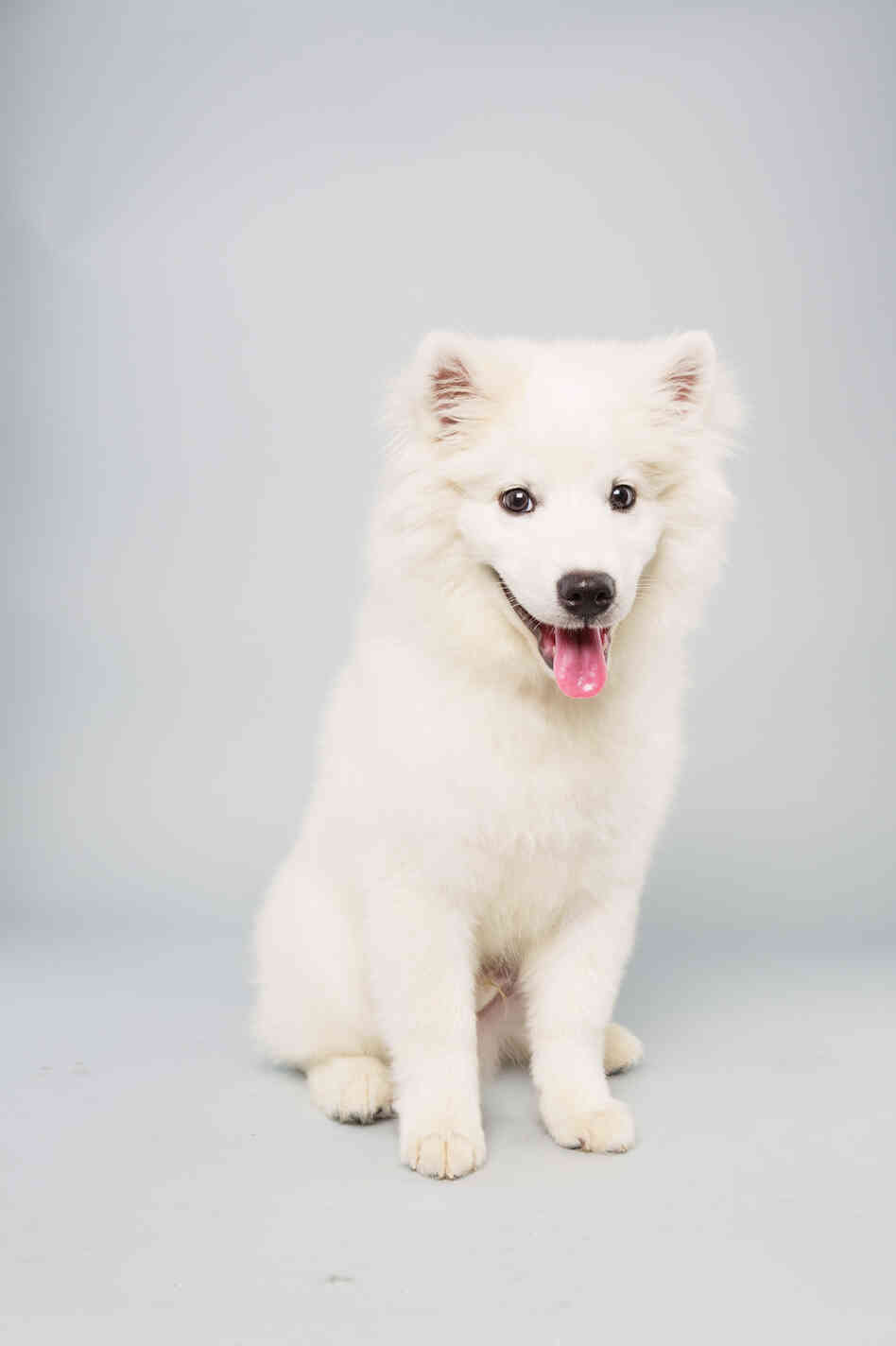 Brody Age: 15 weeks Breed: American Eskimo Fact: One day wants his own doghouse.