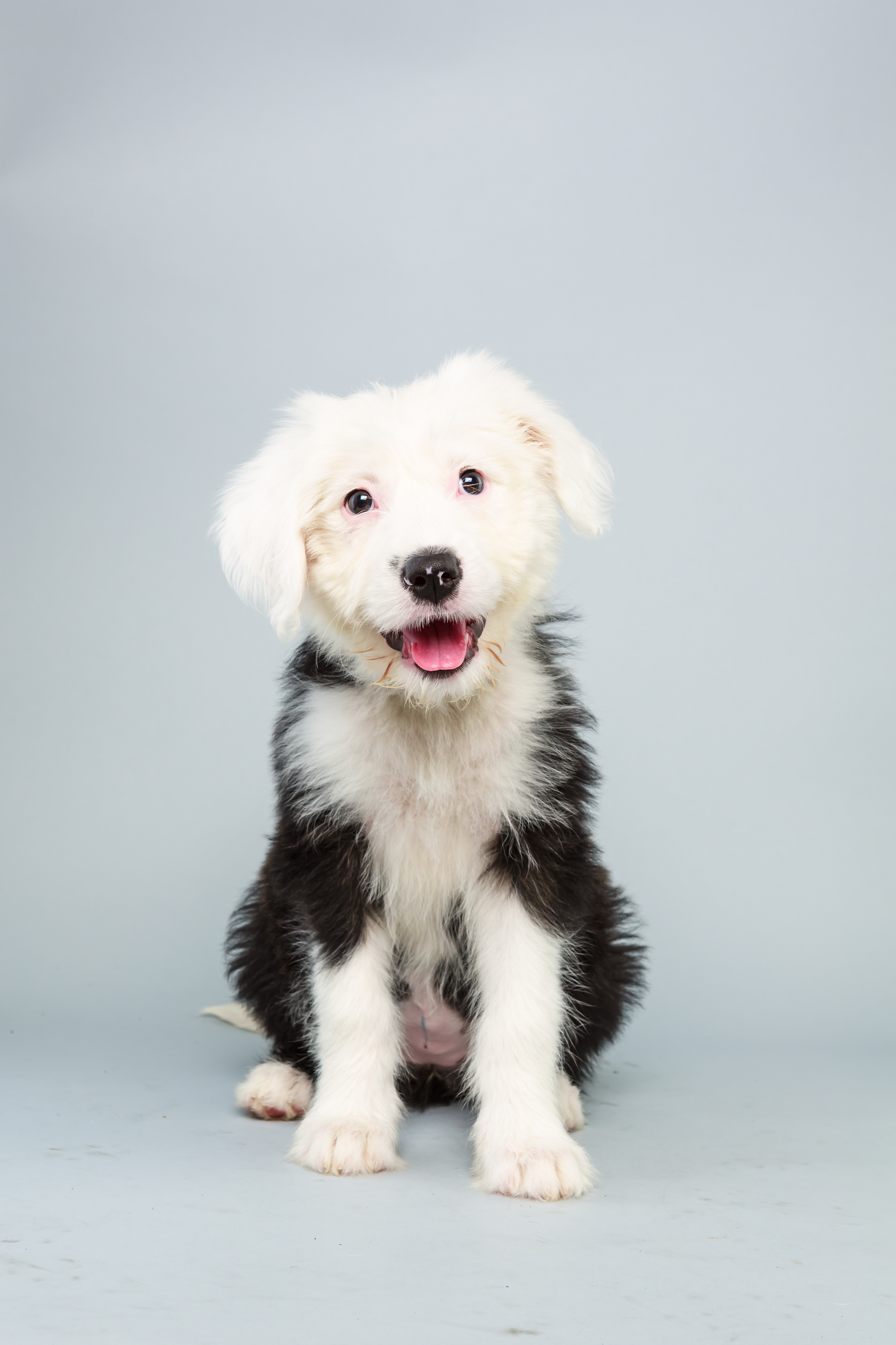 Ginger Age: 12 weeks Breed: Old English sheepdog Fact: Counting sheep automatically puts her to sleep.