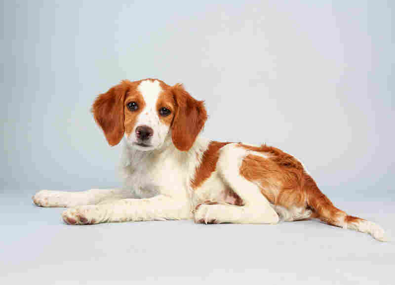 Laney Age: 13 weeks Breed: Brittany spaniel mix Fact: Wants to catch a ride on one of those NASA Mars rovers.